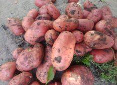 În primăvară cultiva căpșuni, acum cartofi, ceapă și gladiole. Tânărul care s-a întors din străinătate să lucreze terenul cu familia sa