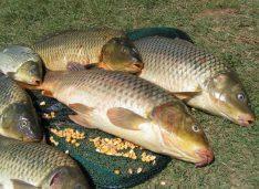 """Pește din Delta Dunării """"importat"""" de o exploatație piscicolă din Botoșani. """"Vom popula doar cu pește de cea mai bună calitate"""""""