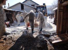 FOTO Pesta porcină africană a fost confirmată în comuna Coșula