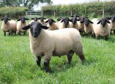 Un fost europarlamentar are o fermă cu o rasă de oi la care un berbecuț s-a vândut cu 44.000 euro